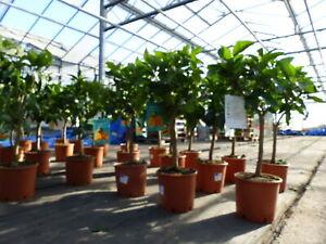 Citrus Sinensis Stamm Orangenbaum 70 - 90 cm Zitrus Orange Obstbaum