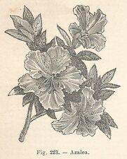 B1308 Azalea - Incisione antica del 1924 - Engraving