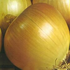 Vegetable Onion Rijnsburger 5 Appx 1000 seeds
