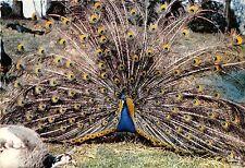 BF40091 parc zoo de cleres france paon bleu peacock  france  bird oiseau