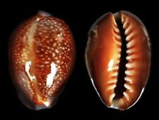 Cypraea caputdraconis - Shells from all over the World