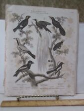 Vintage Print,GRACKLE,Early 19th Century,Black and White