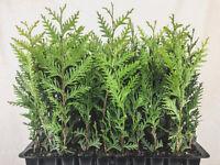 "Thuja Green Giant Arborvitae - Live Trees - 2"" Pots - Evergreen Privacy Plants"