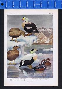 King Eider, American Eider & Harlequin Duck - 1936 Fuertes Bird Print
