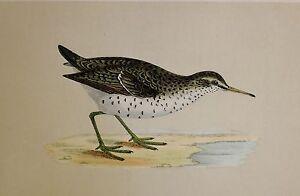c1875 ANTIQUE PRINT ~ SPOTTED SANDPIPER HAND COLOURED British Birds Morris