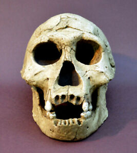 Dmanisi Skull 3 Replica