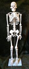 Skeleton 32 Inch Anatomy Halloween