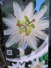 Passiflora caerulea 'Con. Elliotte' - Passionsblume -  Winterharte Pflanze 100cm