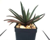 Aloe 'Midnight' Hybrid - Well Rooted Succulent Plant - Nearly Black Leaves!