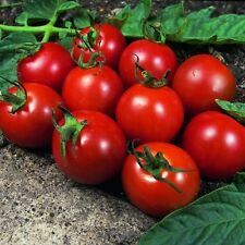 VEGETABLE TOMATO ALICANTE 150 FINEST SEEDS