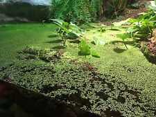 Live Floating Aquarium Plants 5500+ Duckweed Plants Purple  / Pond / Koi Food