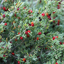 ENCHYLAENA tomentosa Ruby Salt Bush Seeds (N 123)