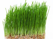 WHEAT GRASS SEED,(APPROX 1000 SEEDS),EXCELLENT NUTRITION VALUES....