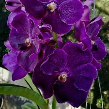Vanda Blue Purist Waxy XL Plant Bloom-Strong Vanda Orchid Orchids