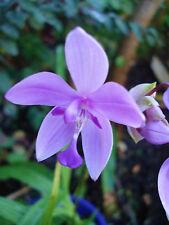 Spathoglottis plicata Species Ground Orchid Purple  Rhizome x 1 - EASY TO GROW !