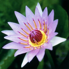 Nymphaea Colorata Purple Hardy Water Lily Tuber Rhizome Pond Plant BUY2GET1FREE*