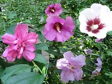 """Rose of Sharon, Althea - Perennial Hibiscus 15 plants  10"""" - 14"""" TALL"""