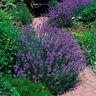 400pcs Lavender English SeedsGreen, Untreated Herb Seeds Garden Deocr purpl A8C9