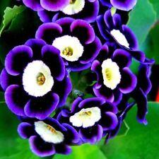 Scarce Rare Blue Phantom Petunia Flower Seeds 200 PCS Pack Home Garden