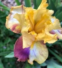 Tall Bearded Tb Iris Autumn Years rhizome perennial broken pattern