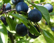 SCHLEHDORN 200 Samen Prunus Spinosa Schlehe  Deutsche Akazie