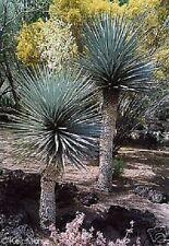 winterharte Yucca rigida bis 5 m hoch - Blaue, spitze Palmenblätter / Samen ..