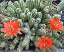 PEANUT CACTUS (Chamaecereus silvestrii) 10 seeds