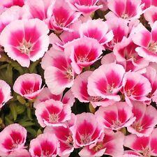 """Farewell To Spring """"Godetia Amoena"""" 350 Seeds"""