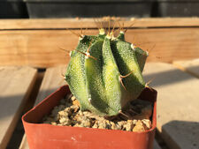 Astrophytum ornatum Cactus Succulent G21