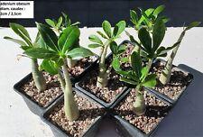 PLANT CAUDEX ADENIUM OBESUM diam. caudex 2cm/2,5cm !! ;  cactus, succulentes,