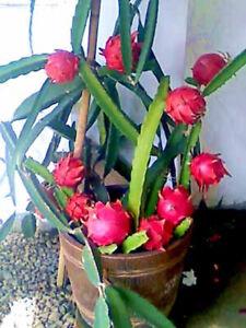 Rare Dragon Fruit-Hylocereus Undatis 3 Plants/Red White Purple Buy 2 Get 1 Free