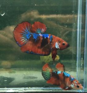 live fish betta Redgalaxy male and female beautifulbreed, Limited