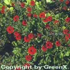 Fingerkraut Gibson Scarlett - Potentilla atrosanguinea