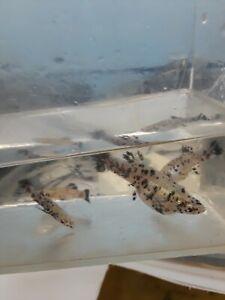 2M/1F Melanistic Gambusia guppy live freshwater aquarium fish rare