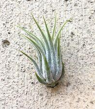 Tillandsia kolbii (scaposa) air plant - small, easy care