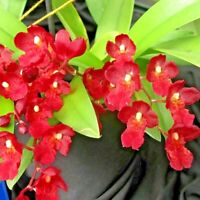 MINI ~ Howeara Orchid ~ Hwra. Lava Burst 'Puanani' ~ Bloom Size