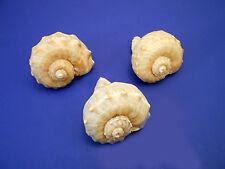 "3 Large Rapana Whelk Shells Seashells 3"" Sea Shell Hermit Crab Beach Nautical."