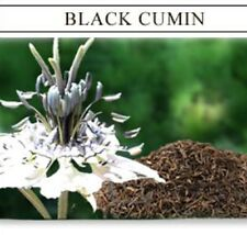BLACK CUMIN cyminum Nigella sativa herb plant in 100mm pot