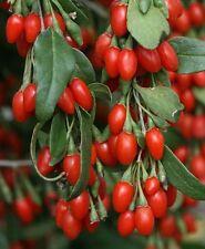 200+ Out Of Pod Lycium Chinense GOJI BERRY Seeds Shrub Bush Fruit Wolf Berry