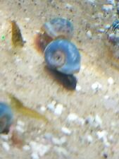 5 + 2 Doa Blue Ramshorn Snails