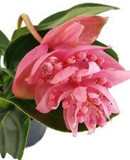 Medinilla magnifica exotische Zimmerpflanze der Tropen mit riesigen rosa Blüten