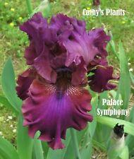 Tall Bearded Iris ~ Palace Symphony ~ Additional wins ship $1.50 each