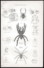 ARACHNIDES 1880 House Spider-Ciron Victorian Lithographie