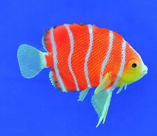 Eshops Sea Creatures Glowing Effect Peppermint Angelfish Decor for Aquarium Tank