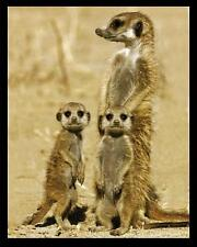 Meerkats - Mini Poster 40cm x 50cm new and sealed