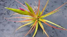 Bromeliad Tillandsia concolor Exotic Tropical Air Plant