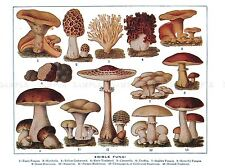 DRAWING EDIBLE FUNGI MUSHROOMS SCIENTIFIC PLANT ART POSTER PRINT LV1516