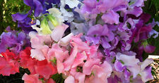 Sweet Pea Seeds - RAINBOW - Reseeds Itself - Hardy Perennial - 10 Seeds