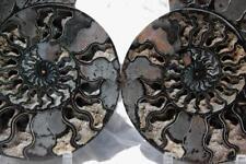 "1532x RARE 1in100 BLACK Ammonite PAIR Deep Crystal 110myo FOSSIL XL 256mm 10.2"""