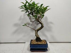 Ficus Retusa ( indoor bonsai) FIG TREE  15cm pot/tray #Z 690
